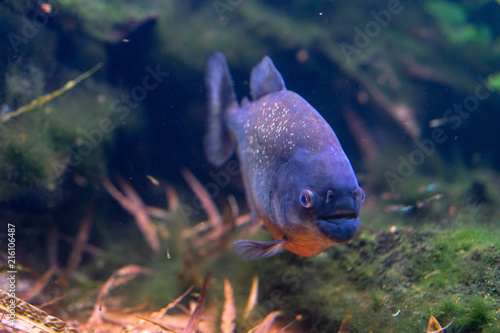 Fotografie, Obraz  Piranha closeup in the aquarium, Pygocentrus nattereri