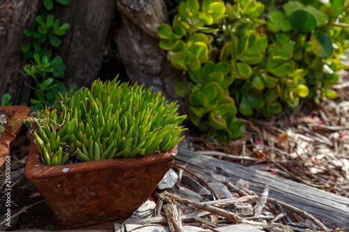 Tuinposter Chocoladebruin Grass plant growing in a pot