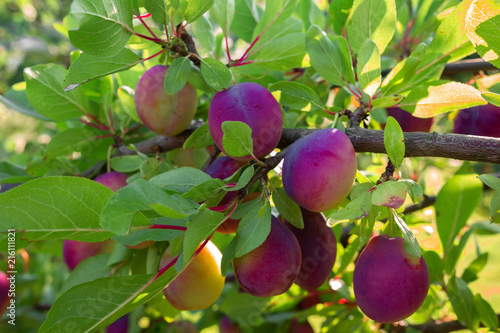 Juicy ripe berry plum on a tree branch on a sunny summer day, concept of ecology with copy space