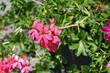 Closeup of pink flowers of ivy leaved geranium