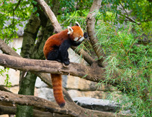 Red Panda Ailurus Fulgens Or Lesser Panda Eating Bamboo Leaves