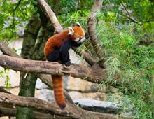 Red Panda Ailurus Fulgens Or L...