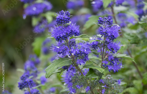 Cuadros en Lienzo Clandon-Bartblume 'Blauer Spatz' (Caryopteris x clandonensis)