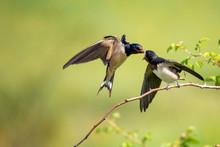 Barn Swallow (Hirundo Rustica)...