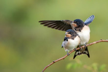 Two Nestling Barn Swallows (Hi...