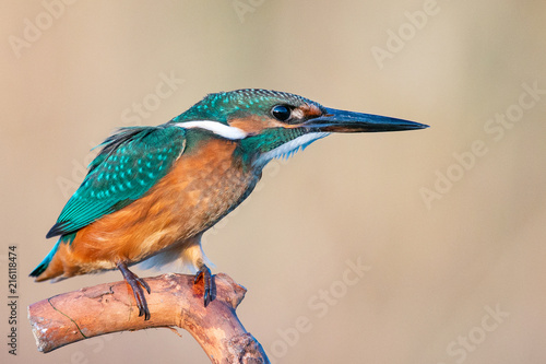 Common Kingfisher (Alcedo atthis) sitting on a stick Fototapete