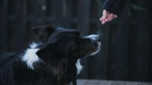 Borer Collie Receiving Treats From Owner