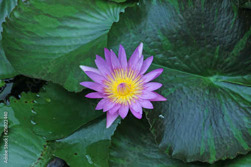 Fotobehang Bloemen Yeşil yaprakları arasında lila renkli nilüfer çiçeği