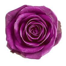 Flower Eggplant Rose Isolated ...