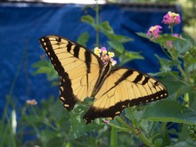 Large Yellow Swallowtail Butte...
