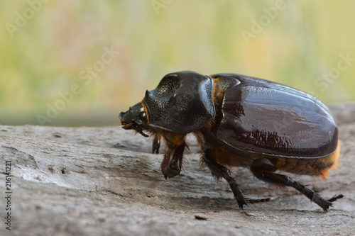 Fotografia Female Ox beetle (Strategus aloeus) macro on tree bark with a bokeh nature background