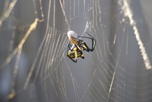 Garden Spider Eating Insect