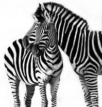 Portrait Of A Zebra With Her F...