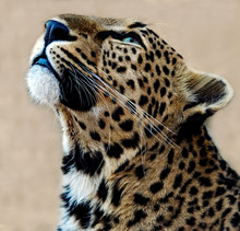 Portrait Of A Leopard Looking Up, South Africa