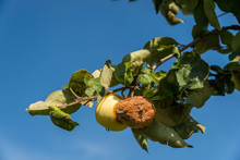 Rotten Apple Near A Healthy One  On The Tree, Beautiful Blue Sky Background.