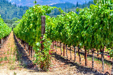 Close-up Of Vines Growing In A Vineyard, California, America, USA