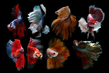 Close Up Of Siamese Fighting Fish Against Black Background