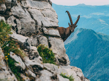 Alpine Capricorn Steinbock Capra Ibex In The Mountain Scenery On A Steep Rock, Brienzer Rothorn Switzerland Alps