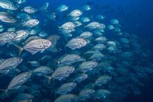 School Of Jack Fish, Puntarenas, Costa Rica