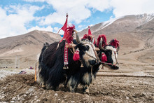 Yaks Dressed Up To Work On Fie...