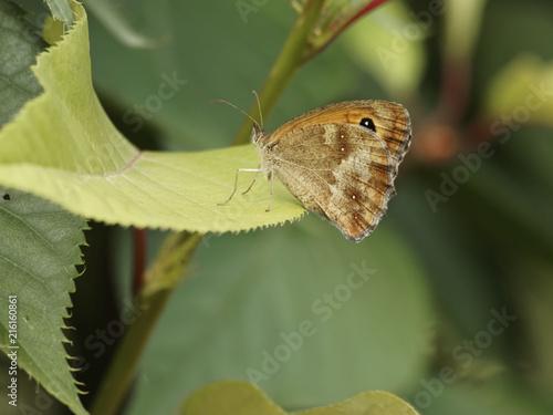 Fotografie, Obraz  Pyronia tithonius - Papillon l'Amaryllis ou Satyre posé sur une feuille