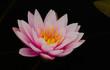 Beautiful blooming pink lotus flower