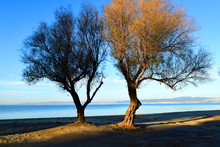 Twin Trees At The Beach. Tamar...