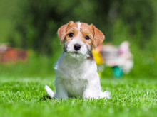 Jack Russell Puppy.