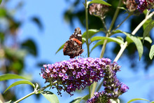 Painted Lady Butterfly, Showing Underside Of Colourful Wing, Feeding On A Purple Flowering Buddleia, Set Against A Blurred Blue Sky Background With Green Leaves