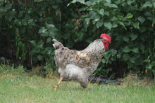Rooster Roaming Through An Are...