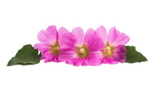 Pink Mallow Isolated