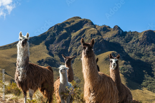 A group of llamas in their corral