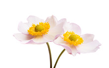 Anemones Flowers Isolated