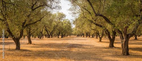 Fotografia Olive trees plantation