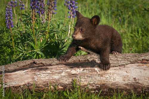 Photo Black Bear Cub (Ursus americanus) Climbs Over Log