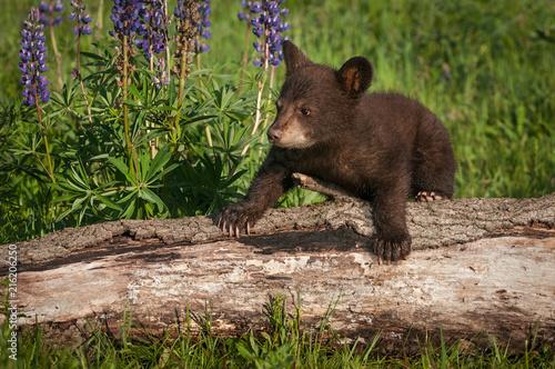 Valokuva Black Bear Cub (Ursus americanus) Climbs Over Log