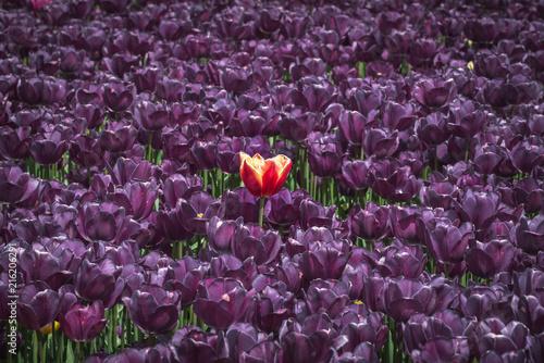 Photo  A unique tulip