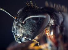 Black Carpenter Ant Macro