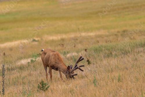 Fotografie, Obraz  Mule deer Buck in Velvet