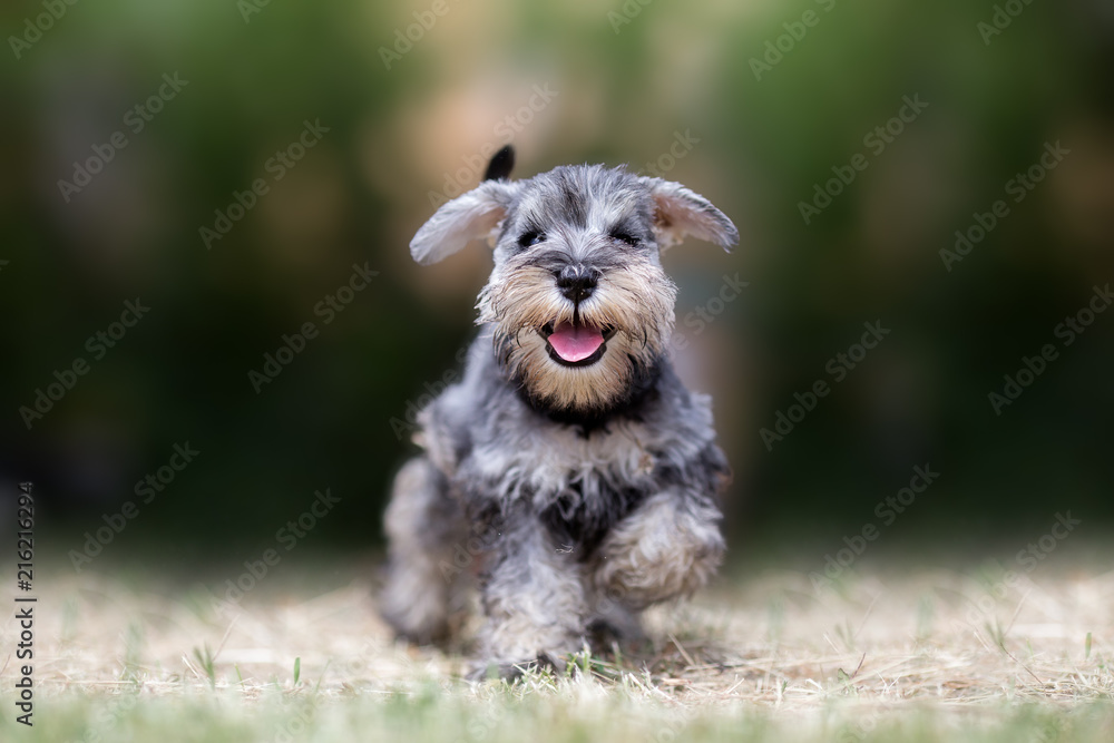 Fototapeta Miniature puppy Schnauzer at Play