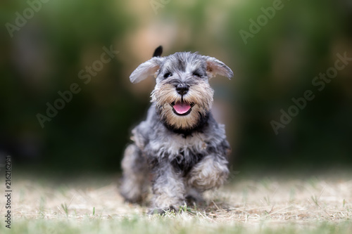 obraz PCV Miniature puppy Schnauzer at Play