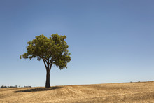 A Lone Tree On A Dry Field In ...