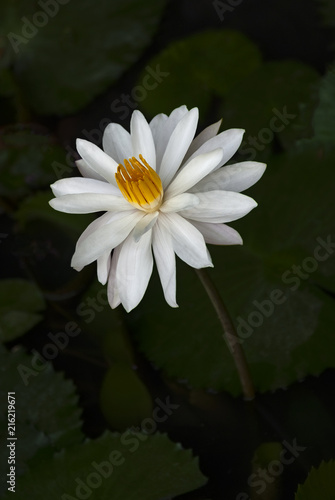 White lotus flower growing in a pond the white lotus flower and white lotus flower growing in a pond the white lotus flower and pink lotus flower mightylinksfo