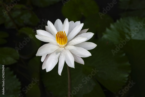 White Lotus Flower Growing In A Pond The White Lotus Flower And