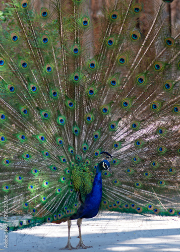 Foto op Aluminium Pauw Peacock Closeup