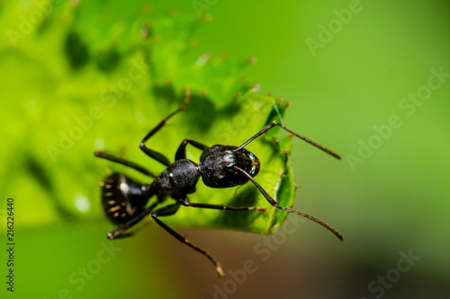 Plakat Duża mrówka na liściu, patrząc w prawo