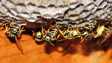 Nest Of European Paper Wasps