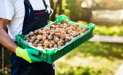 Obraz Man holding box full of walnuts - fototapety do salonu