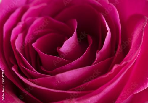 In de dag Dahlia Red rose Bud shot close-up