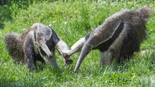 Two Anteaters Which Fight, Funny Animals